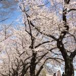 桜、舞い、散る